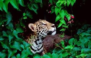 green-jaguar-looking